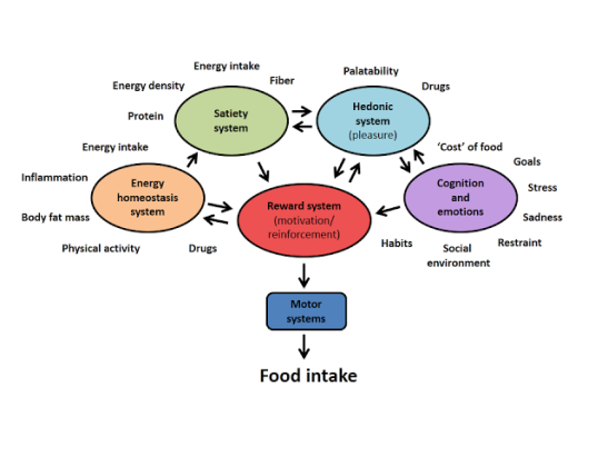 Model of food intake behavior